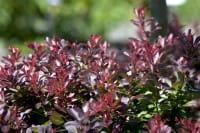 Zwerg-Blutberberitze • Berberis thunbergii Atropurpurea Nana