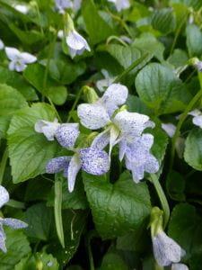 Pfingstveilchen Freckles • Viola sororia Freckles