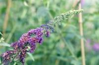 Sommerflieder Bicolor • Buddleja davidii Bicolor
