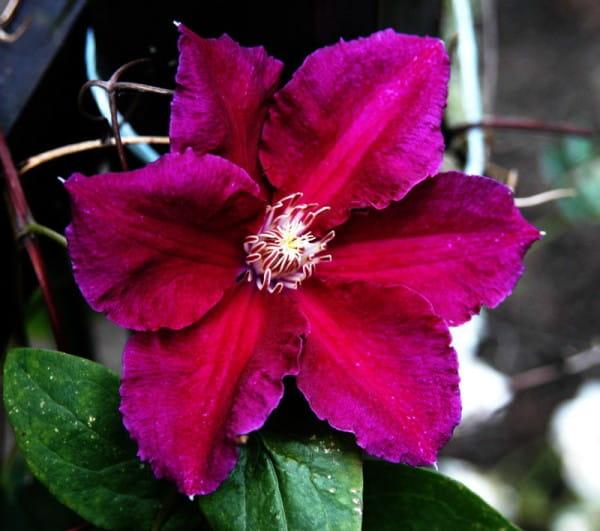 Waldrebe Ernest Markham • Clematis Hybriden Ernest Markham