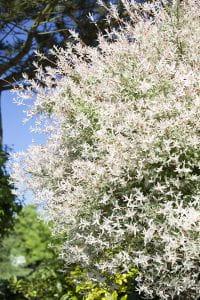 Japanische Harlekinweide • Salix integra Hakuro Nishiki
