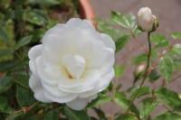 Rose Schneewittchen ® • Rosa Schneewittchen ®
