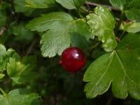 Alpen-Johannisbeere • Ribes alpinum