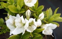 Japanische Azalee Lemon Eye • Rhododendron obtusum Lemon Eye