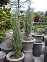 Raketenwachholder Blue Arrow • Juniperus scopulorum Blue Arrow