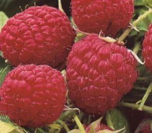 Himbeere ZEFA 3 Herbsternte • Rubus idaeus ZEFA 3 Herbsternte