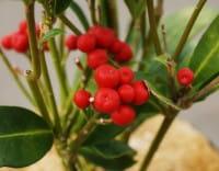Japanische Fruchtskimmie • Skimmia japonica