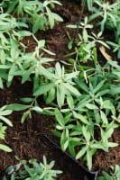 Purpurblütiges Leinkraut • Linaria purpurea