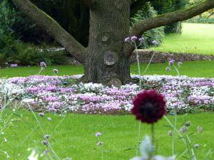 Herbst-Alpenveilchen • Cyclamen hederifolium, rosa