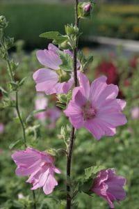 Garten-Busch-Malve Barnsley • Lavatera x olbia Barnsley