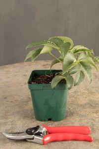 Palmblatt Nieswurz • Helleborus foetidus