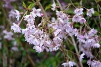 Frühlingskirsche Fukubana • Prunus subhirtella Fukubana