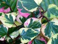 Buntblättriger Garten-Eidechsenschwanz • Houttuynia cordata Chameleon