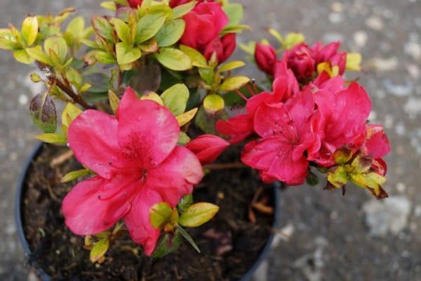 Japanische Azalee Hahns Red • Rhododendron obtusum Hahns Red