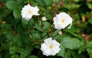 Kletterrose Perennial Blush • Rosa Perennial Blush