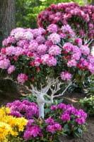 Rhododendron Arabella • Rhododendron yakushimanum Arabella