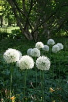 Garten-Zierlauch Mount Everest • Allium stipitatum Mount Everest