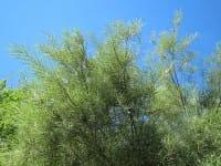 Uferweide • Salix elaeagnos