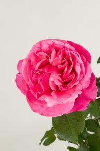 Edelrose Elbflorenz® • Rosa Elbflorenz