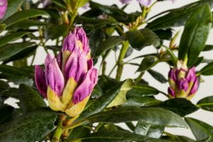 Rhododendron Pinguin • Rhododendron Hybride Pinguin