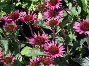 Scheinsonnenhut • Echinacea purpurea