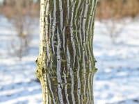 Roter Schlangenhaut-Ahorn • Acer capillipes