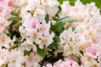 Rhododendron Yaku Queen • Rhododendron yakushimanum Yaku Queen