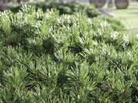 Zwerg-Kiefer • Pinus mugo pumilio