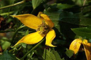 Waldrebe tangutica • Clematis tangutica