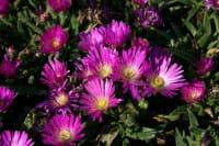 Transvaal Mittagsblume - Delosperma sutherlandii
