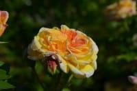 Rose Alchymist • Rosa Alchymist