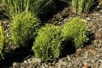 Lebensbaum Tiny Tim • Thuja occidentalis Tiny Tim