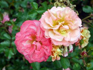 Rose Cubana® • Rosa Cubana®