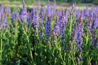 Garten-Blüten-Salbei Blauhügel • Salvia nemorosa Blauhügel