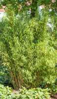 Gartenbambus Standing Stone • Fargesia Murieliae Standing Stone