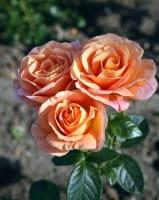 Rose Bengali • Rosa Bengali