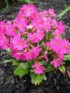 Garten Rosen-Schlüsselblume • Primula rosea Gigas