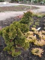 Hinoki-Scheinzypresse Contorta • Chamaecyparis obtusa Contorta