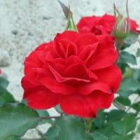 Rose Rotilia ® • Rosa Rotilia ®
