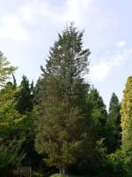 Gelbe Baumzypresse • Cupressocyparis leylandii Castlewellan Gold