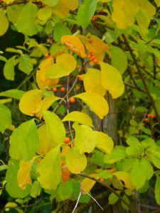 Rotblättriger Baumwürger • Celastrus orbiculatus