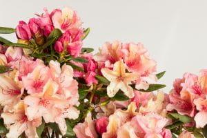 Rhododendron Brasilia • Rhododendron Hybride Brasilia