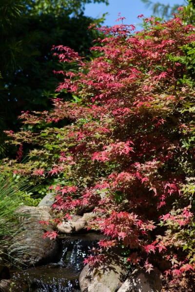 Fächerahorn Corallinum • Acer palmatum Corallinum