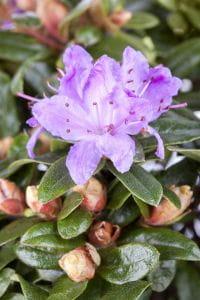 Kleinblättriger Rhododendron Moerheim • Rhododendron impeditum Moerheim