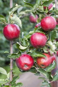 Apfelbaum Jonagold • Malus Jonagold