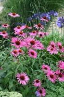 Scheinsonnenhut Rubinstern • Echinacea purpurea Rubinstern