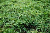 Geschlitztblättriger Garten Geißbart Kneiffii • Aruncus dioicus Kneiffii