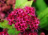 Sommerspiere Froebelii • Spiraea japonica Froebelii