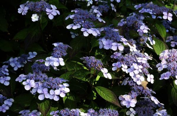 Kleinwüchs.Gartenhortensie Bluebird • Hydrangea serrata Bluebird