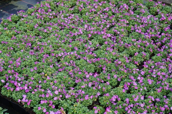 Dalmatiner Polster Glockenblume • Campanula portenschlagiana